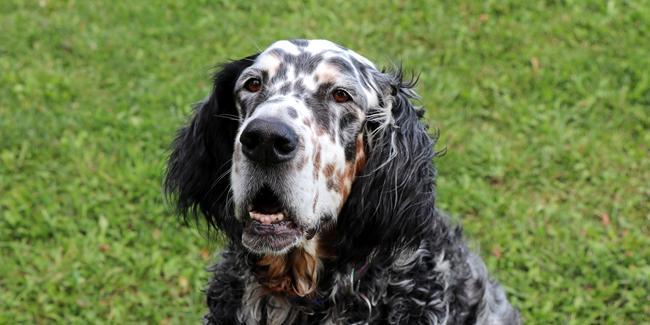 Setter Anglais : caractère, origine et principaux problèmes de santé de cette race de chien