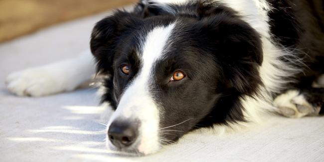 L'ehrlichiose chez le chien : symptômes, traitement et prévention