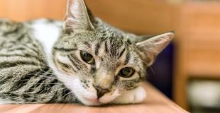 Quels sont les principaux cancers du chat ?