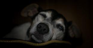 Démodécie chez le chien : symptômes, traitement et prévention