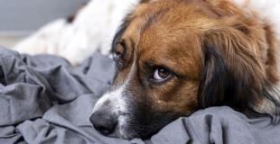 Le lymphome chez le chien : symptômes, traitement et prévention
