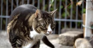 La myopathie chez le chat : symptômes, traitement et prévention