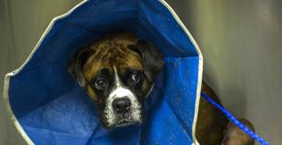 Otite chez le chien : symptômes, traitement et prévention
