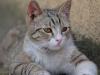 La piroplasmose chez le chat : symptômes, traitement et prévention